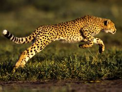 Cheetah (Acinonyx jubatus) memiliki kecepatan 0 ke 96 km/jam dalam tiga detik, menjad