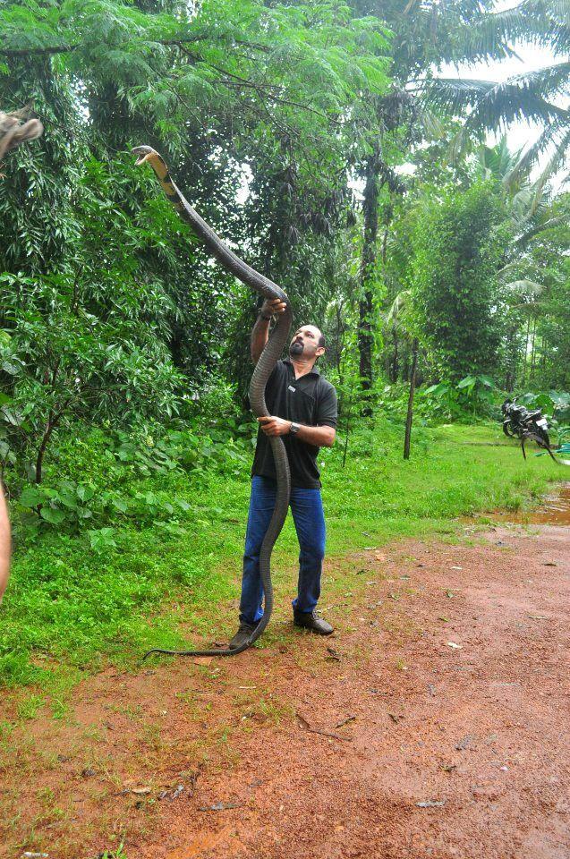 Sobat Pulsk, keren ya gaya si pawang ini dapat menaklukkan king kobra.