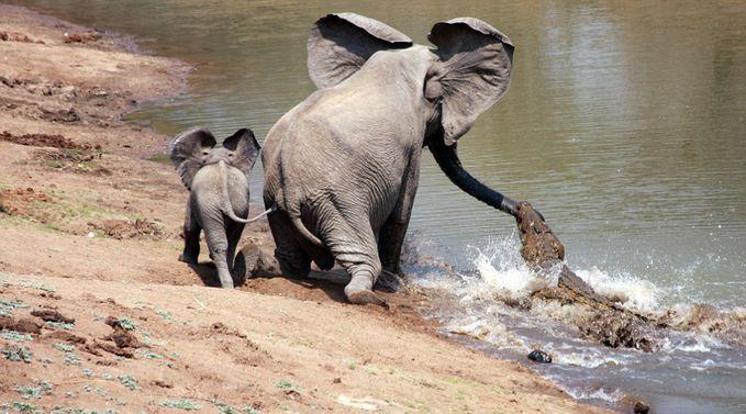 gajah versus buaya