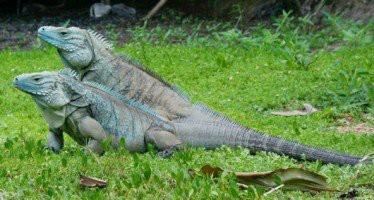 Iguana 2 MUKA 2 BADAN 1 EKOR