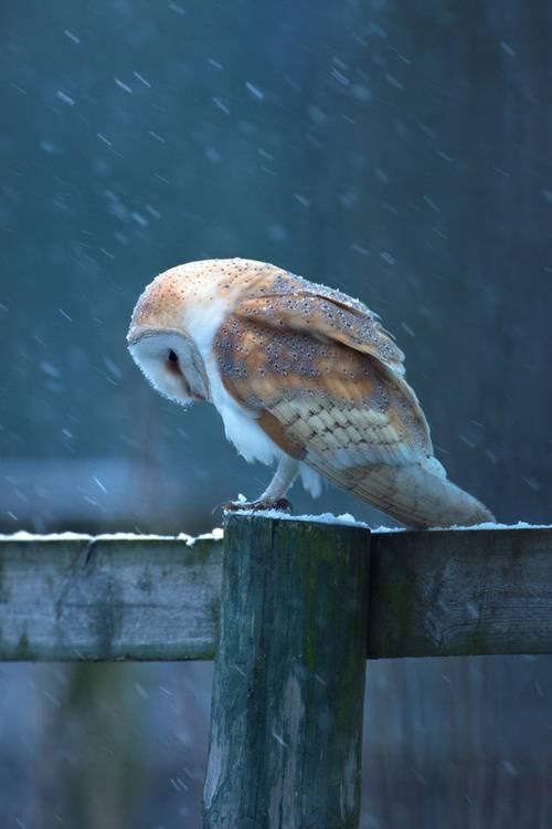 Inilah salah satu Jenis Burung Hantu yang sepertinya hampir Punah, Burung Hantu dengan motif batik di bulu bulunya, Bagaimana nih menurut kalian, WOW banget ya burungnya, apalagi bisa bertahan ditengah hujan salju.