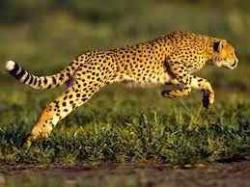 Hewan Mamalia Tercepat di Darat: Cheetah Hewan yang mampu berlari paling cepat di darat adalah Cheetah (Acinonyx jubatus). Cheetah adalah salah satu anggota keluarga kucing (felidae) yang mempunyai kecepatan lari max 110 km/jam dan mampu berakselerasi 0-100 km/jam dalam waktu 3,5 detik. Akselerasi ini lebih cepat dari pada beberapa supercar. Pada tahun 2009, cheetah betina berusia 8 tahun bernama Sarah menjadi hewan darat tercepat di dunia. Cheetah milik kebun binatang Cincinnati itu mampu menempuh jarak 100 m hanya dalam waktu 6,13 detik. Kecepatannya mengalahkan rekor kecepatan Cheetah Afrika Selatan bernama Nyana yang pada tahun 2001 mampu menempuh jarak 100 m dalam waktu 6,19 detik. Hewan Mamalia Tercepat di Udara: Big Brown Bat Hewan mamalia udara tercepat adalah Big Brown Bat (Eptesicus fuscus) yang mampu terbang dengan kecepatan max 25 km/jam. Kelelawar ini adalah asli Amerika Utara, Amerika Tengah, Karibia, dan utara Amerika Selatan. Spesies ini lebih besar dalam ukuran dari spesies kelelawar lainnya, panjang tubuhnya sekitar 4 sampai 5 inci (10 - 13 cm), dengan lebar sayap 11-13 inci (28-33 cm) dan berat 1/2 sampai 5/8 ounce. Bulunya agak panjang dan coklat mengkilap. Membran sayap, telinga, kaki, dan wajah berwarna coklat tua sampai berwarna kehitaman. Kelelawar Big Brown aktif di malam hari, siang hari bersarang di pohon berlubang, di bawah kulit kayu longgar, di celah-celah batu atau struktur buatan manusia seperti loteng, lumbung, bangunan tua, atap dan jendela. Kelelawar Big Brown menavigasi di langit malam dengan menggunakan echolocation, menghasilkan suara ultrasonik melalui mulut atau hidung. Kelelawar Big Brown dikenal juga menghasilkan suara yang dapat didengar selama penerbangan. Hewan Mamalia Tercepat di Laut: Paus Pembunuh (Orcinus orca) Perbandingan Ukuran Paus Pembunuh Orca dengan Manusia Hewan mamalia laut tercepat adalah Paus Pembunuh (Orcinus orca) yang mampu berenang dengan kecepatan max 55,5 km/jam. Paus Pembunuh atau Orca (Orcinus orca)
