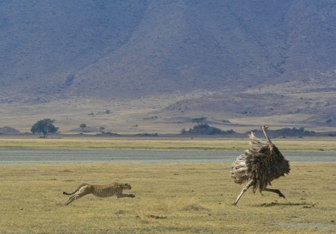 Sobat Pulsk, burung unta di kejar cheetah, kira-kira cepat mana ya larinya.