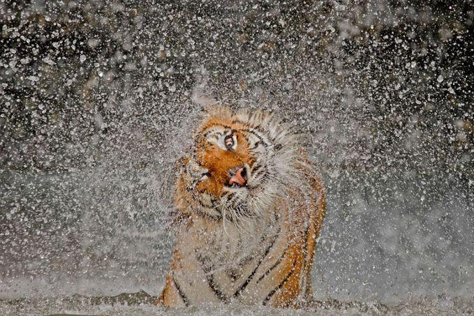 Sobat Pulsk, seperti inilah cara harimau mengeringkan air yang ada di bulunya, kalau di ilmu Fisika dinamakan gaya sentrifugal, jadi airnya bergerak keluar meninggalkan titik pusal putaran.