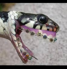 ular pake behel! biar greget kakak