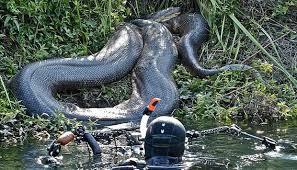 poto ular terbesar di amazon berhasil di abadikan
