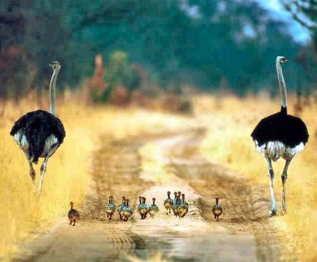 Sobat Pulsk, harmonis sekali ya keluarga burung unta ini.