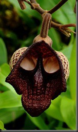 WOW bunga mirip helm Darth Vader (Aristolochia salvador platensis)