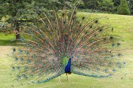 Inilah burung merak di indonesia...:)