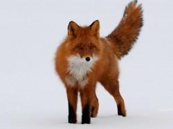 Taukah kamu, Mozilla Firefox di Kehidupan Nyata Benar-benar Nyata Inilah Serigala cantik yang hidup di Kronotsky National Biosphere Reserve yang dijadikan Logo Mozilla Firefox