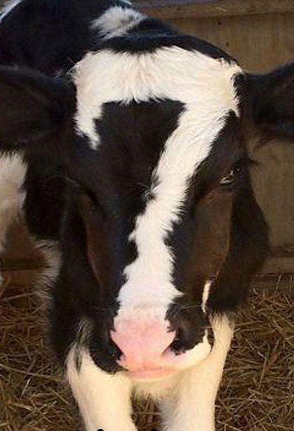 Cool Cow No.7!