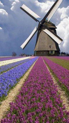 Windmill & Tulip Farm - Holland