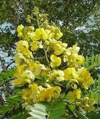 Johar sering ditanam dalam sistem pertanaman campuran (agroforestri), baik sebagai tanaman sela, tanaman tepi atau penghalang angin. Pohon ini acap ditanam sebagai penaung di perkebunan-perkebunan teh, kopi atau kakao. WoW Ya