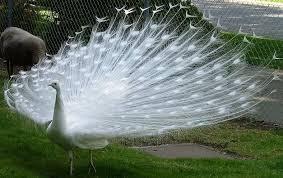 Inilah Burung Merak Bulu Putih.WoW ya
