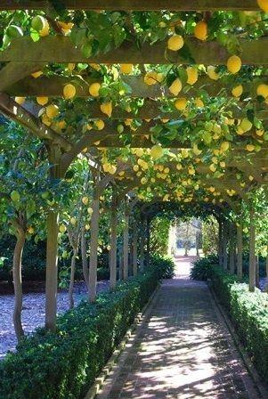 Pergola Lemon