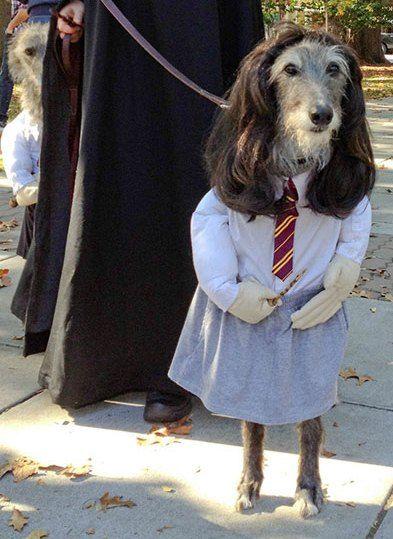 Anjing Ini Memakai Kostum Hermione Harry Potter
