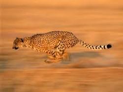 1. Acinonyx jubatus merupakan nama latin untuk cheetah. 2. Pada umumnya cheetah memi
