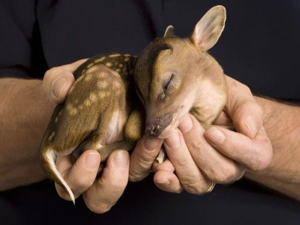 So cute. Bayi rusa sedang tidur dalam genggaman.