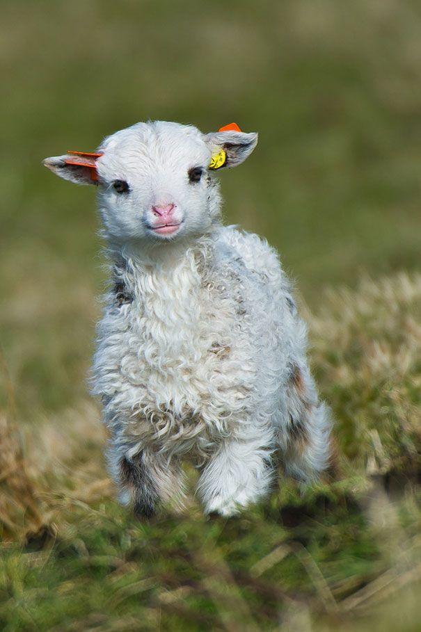 yang ini bayi domba, wajahnya polos ya, pulsker :D