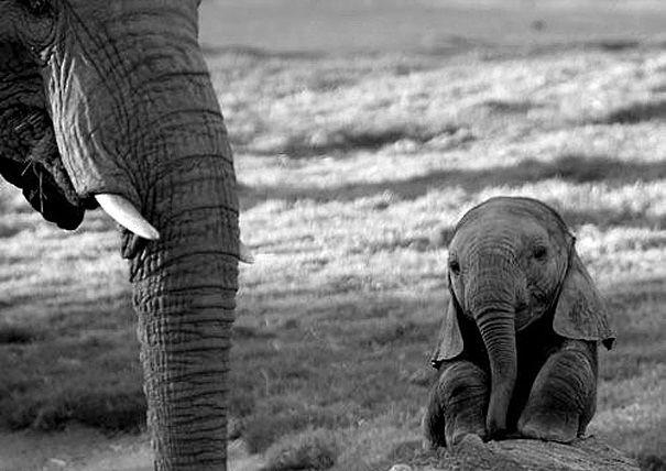 Bayi gajah, bersama ibunya. He looks sad but still cutie.