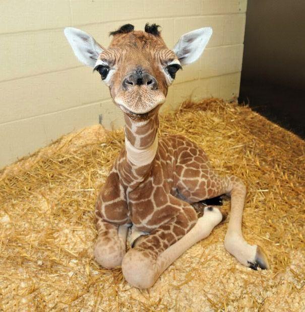 cuteness overload. Baby Giraffe. Mirip boneka onta yang dari arab :3