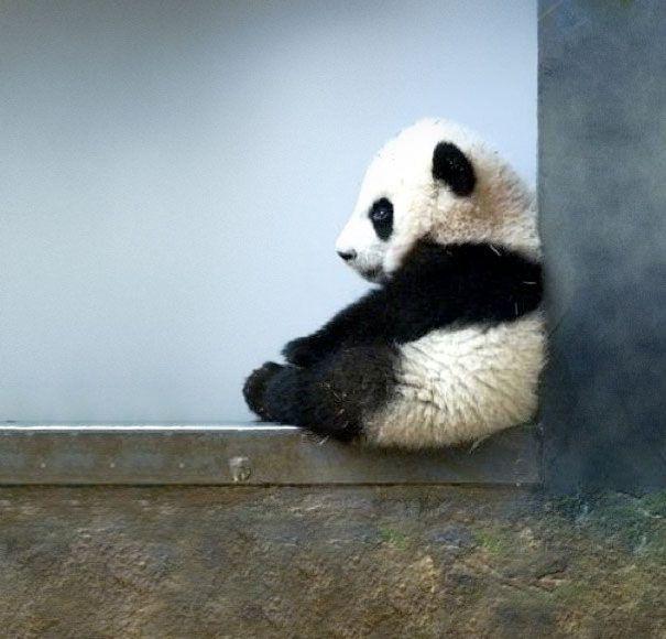 Panda. Walaupun bukan baby, panda selalu terlihat menggemaskan. Dalam foto ini sepertinya ia lagi galau, pulsker :D