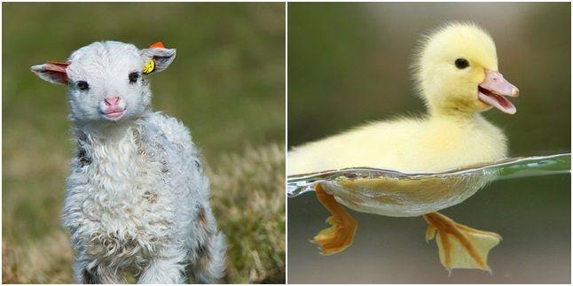 Lucunya bebek yang lagi berenang sambil dilihatin sama baby domba