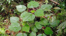 tanaman paling beracun didunia ini ada di indnesia
