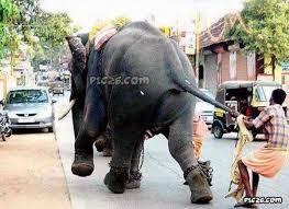 gajah kabur ditarik ekornya oleh pawang gajah