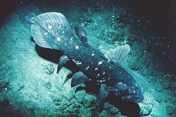 Coelecanth Latemeria adalah ikan purba yang disangka sudah punah 65 juta tahun lalu, ditemukan di Sulawesi.