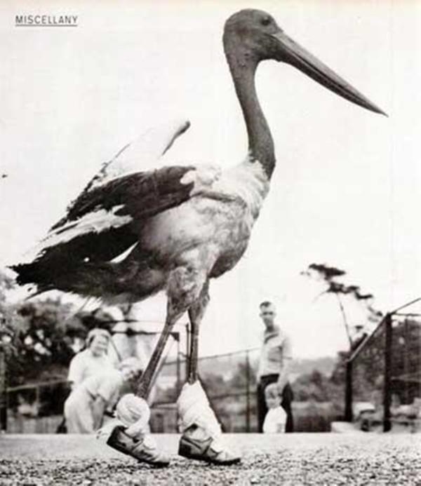 Tahukah Anda, pada tahun 1900an sedang trend memakaikan sepatu pada hewan peliharaan, seperti bebek, ayam & lainnya.