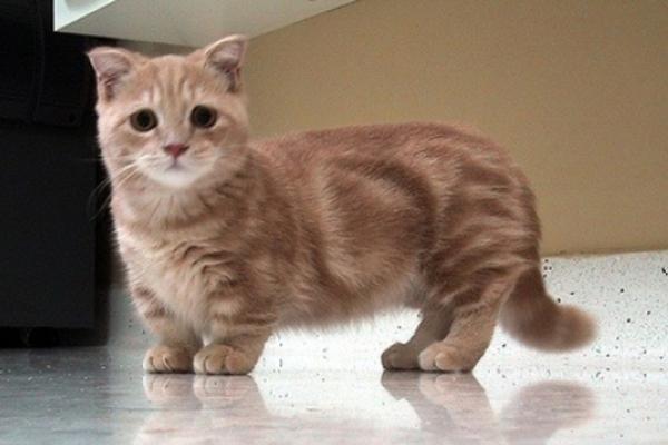 Munchkin Cat adalah salah satu ras kucing berkaki pendek yang terbentuk karena mutasi genetik alami.