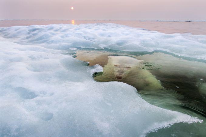 Seekor beruang kutub yang berenang dibawah lautan es yang mencair di Hudson Bay, Canada