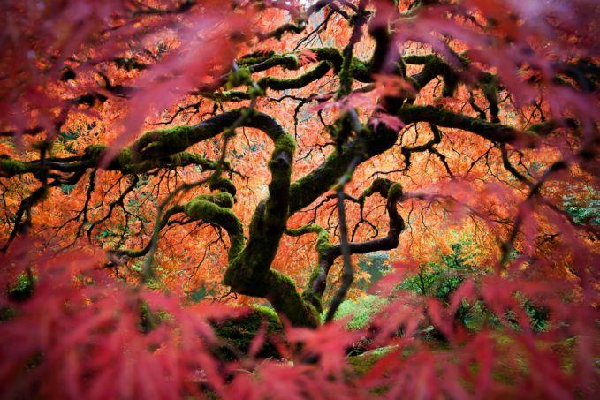Pohon maple di taman Portland Japanese Garden