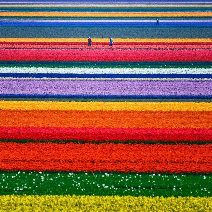 Perkebunan Tulip - Belanda
