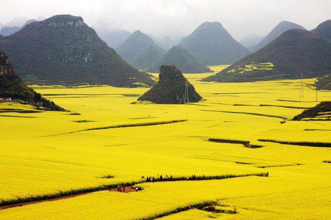 Perkebunan Bunga Canola - Cina