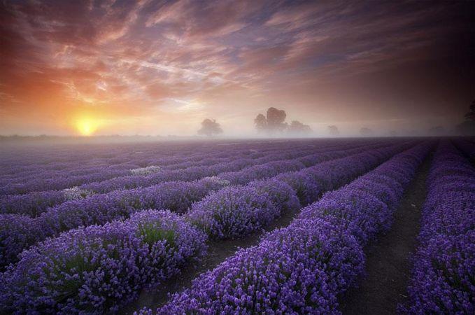 Perkebunan Bunga Lavender -Prancis