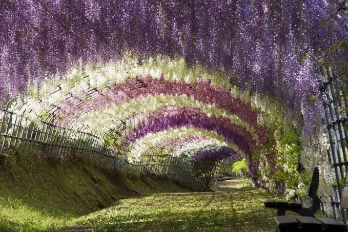 Wisteria Flower Tunnel - Kawachi Fuji Garden Japan
