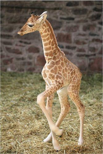 Duh lucunya bayi jerapah ini, ada yang tau PULSKER, kira kira umur berapa ya