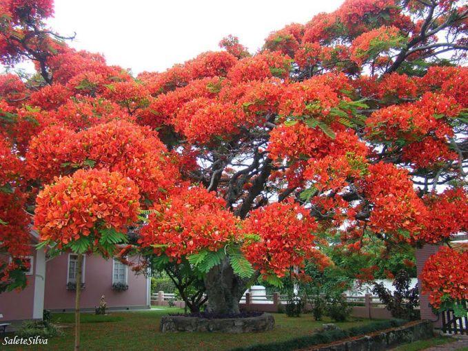 Didominasi dedaunan berwarna orange cerah membuat pohon asal madagaskar ini nampak indah dan menawan