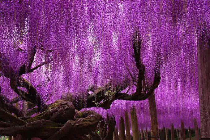 Ungu dan romantisme mewarnai pepohonan ini,