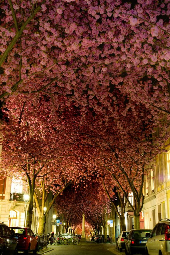 Pohon cherry blossoms yang difoto saat mekar mekarnya dibulan April, romantis ya PULSKER?!