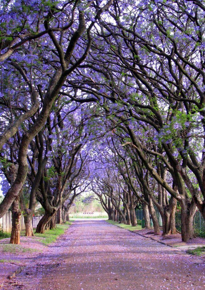 dominasi ungu menyelimuti pepohonan ini, keren ya