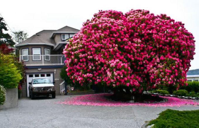 Percaya atau tidak pohon ini berumur 125 tahun, dan masih indah dengan warna merah cerahnya.