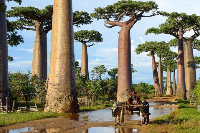 Pohon yang bisa menyimpan air, tumbuh subur di madagaskar