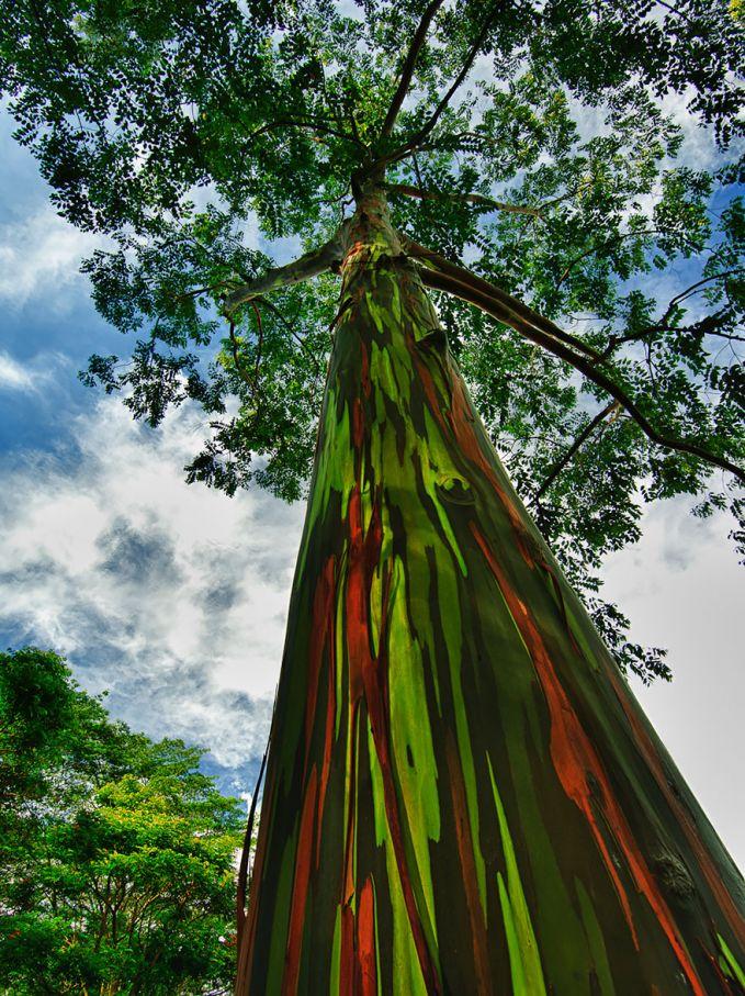 Pohon unik menjulang tinggi dengan batang pohon yang berwarna warni seperti pelangi
