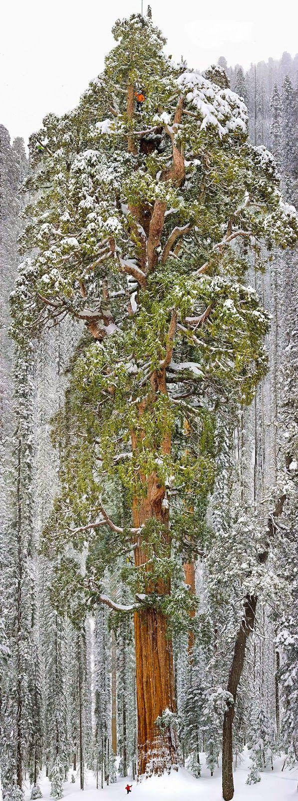 Pohon setinggi 73 meter yang ditutupi salju, berada di taman nasional california