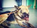 Anggap Mainan, Anak-anak Ikat Petasan di Mulut Anjing