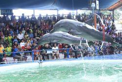 Derita Lumba-Lumba Sirkus Dibalik Aksinya yang Pintar