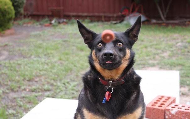 hahaha anjing ini melongo lihat bola muter didepan kepalanya